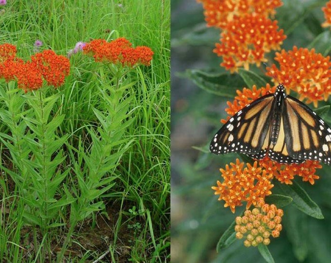 Butterfly Weed seeds (Orange). Asclepias tuberosa. Chemical free