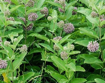 "8 Common Milkweed plants / Asclepias syriaca 2.5"" container. PRE-ORDER for May 2021"