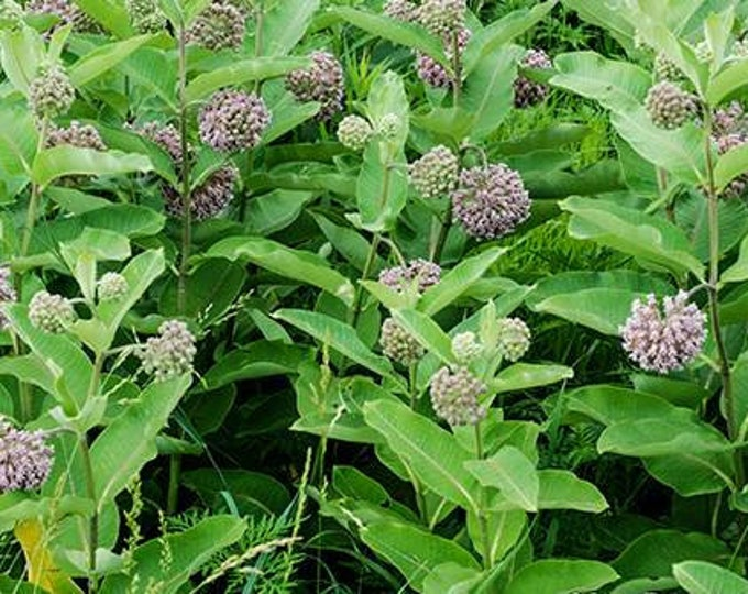 """Common Milkweed plants. 2.5"""" container. (Pre-order for May 2020)"""