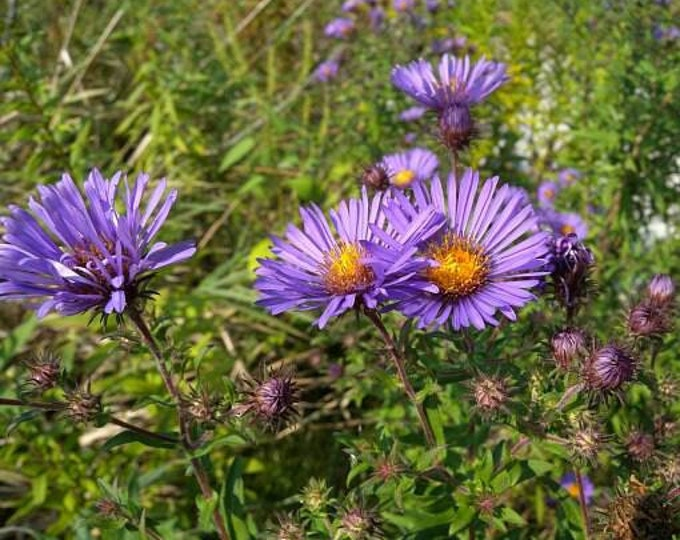 """New England Aster plant. 2.5"""" container. Symphyotrichum novae-angliae. (Pre-order for May 2020)."""