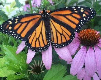 Monarch Habitat Seed Mix. 500 seeds.