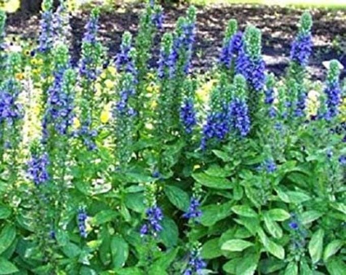 500 Great Blue Lobelia seeds. Lobelia siphilitica. Chemical free.