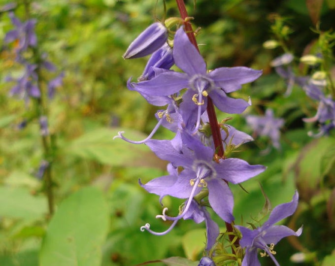 100 Tall Bellflower Seeds. Campanula americana.