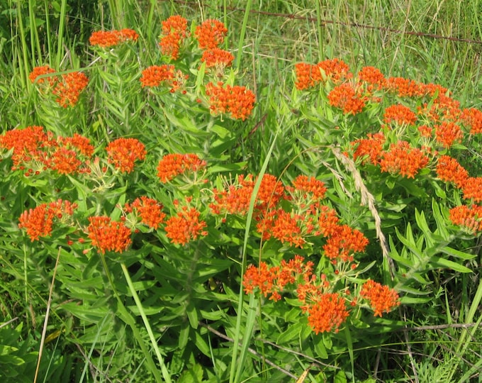 """32 Butterfly Weed Plants. Asclepias tuberosa. 2.5"""" containers. (Pre-order for Spring shipment)"""