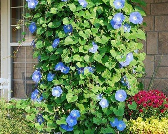 Heavenly Blue Morning Glory seeds. Chemical free.