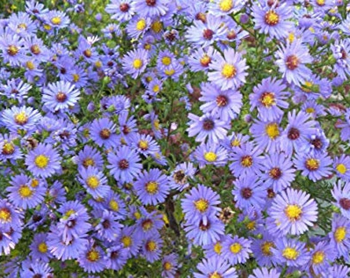 """Smooth Blue Aster plant. 2.5"""" Container. Symphyotrichum laeve. (Pre-Order Ships in May.)"""