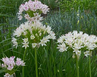 25 Wild Garlic Seeds (bulbs). Allium Canadense.