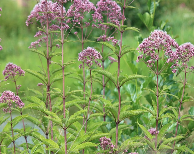 "3 Hollow Joe Pye Weed. 3.5"" Container. Eutrochium fistulosum. Ships in August. FREE SHIPPING."