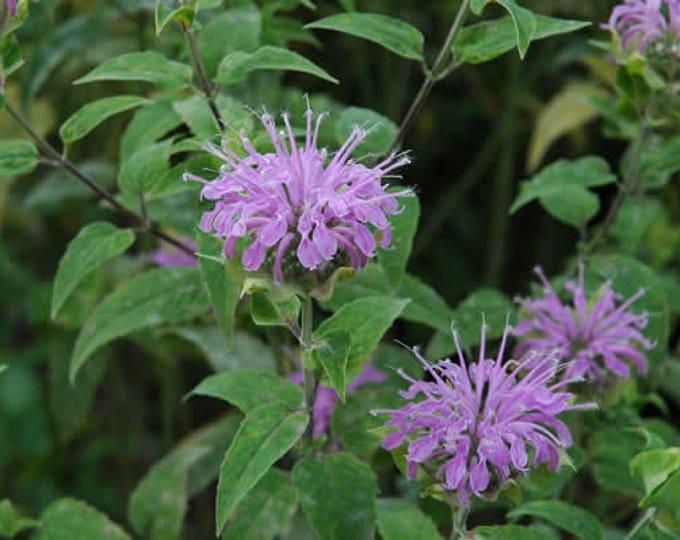100 Wild Bergamot Seeds Monarda fistulosa