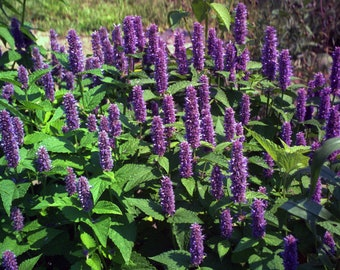 """10 Anise Hyssop plants. 2.5"""" Container. Agastache foeniculum. Ships in August. FREE SHIPPING."""