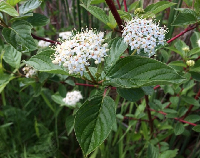 "Red Osier Dogwood shrub. 6-12"" height. Cornus sericea. Ships in August"