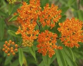 """Butterfly Weed plant. Asclepias tuberosa. 2.5"""" Container. (Pre-order Ships in May.)"""