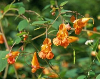 25 Jewelweed seeds / Impatiens capensis