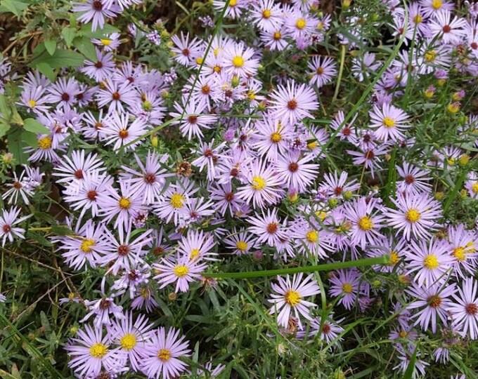50 Aromatic Aster Seeds. Symphyotrichum oblongifolius.