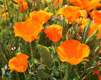 BULK California Poppy Seeds. Eschscholzia californica. Combined Shipping rates.