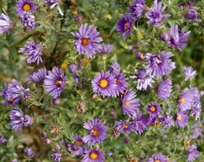 New England Aster seeds. Chemical free. Symphyotrichum novae-angliae. Combined shipping & handling.