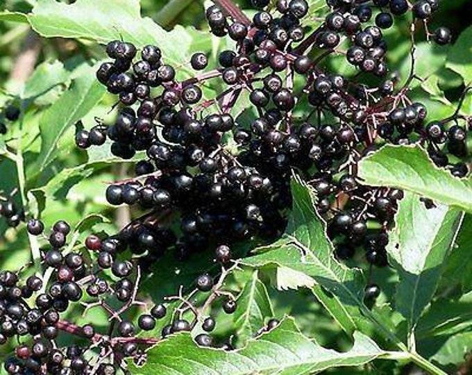 "American Elderberry Shrub. Sambuca canadensis. 1 gallon container. 12-18"" shrub"