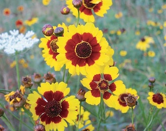 250 Plains Coreopsis Seeds. Coreopsis tinctoria.
