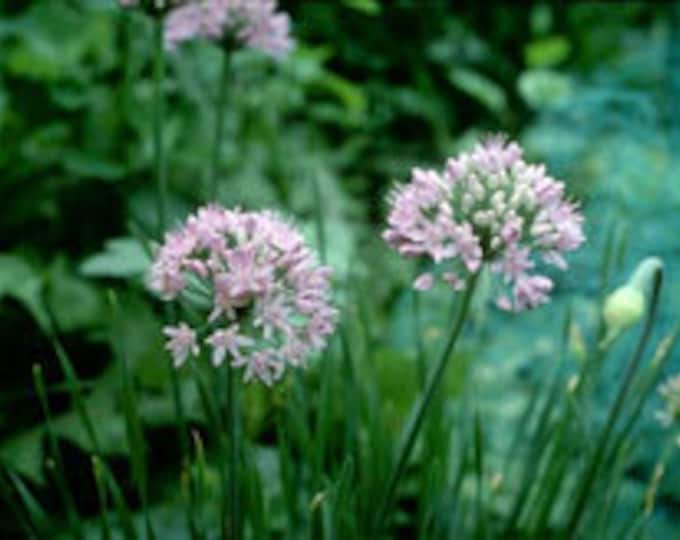 "10 Wild Meadow Garlic Plants. Allium canadense. 2.5"" container. (Pre-order for Spring)"