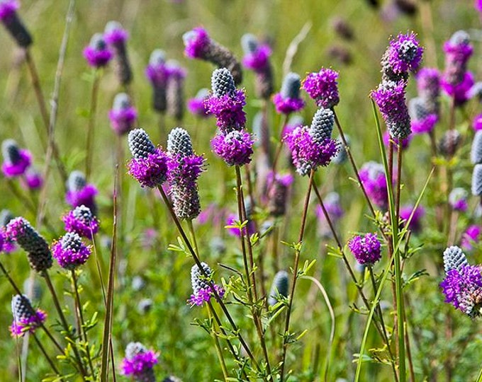 200 Purple Prairie Clover Seeds. Dalea purpureum.