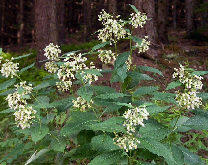 """Poke Milkweed plants. 2.5"""" containers. Asclepias exaltata. (Pre-order for June 2020)"""
