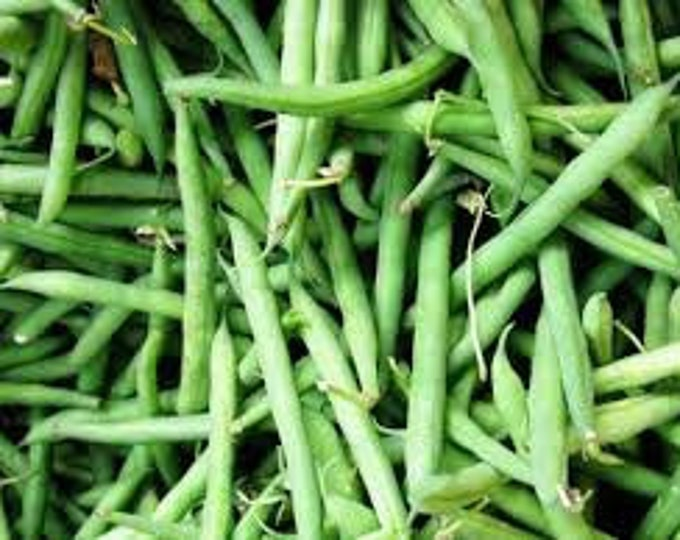 50 Bush Blue Lake Bean Seeds. Non-GMO