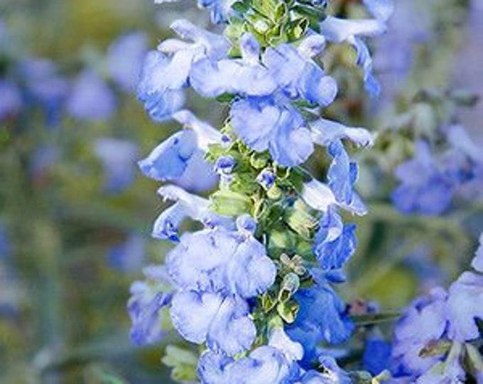 50 Azure Blue Sage Seeds. Salvia azurea.