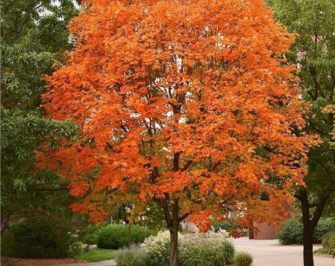 "50 Sugar Maple tree seedlings. 12-18"" height. (Pre-order for Spring 2020)"