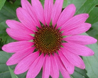 "32 Purple Coneflower plants. 2.5"" containers. Echinacea purpurea. PRE-ORDER for June 2021"