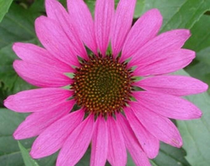 "Purple Coneflower plant. 2.5"" containers. Echinacea purpurea. (Pre-order for Spring 2020)"