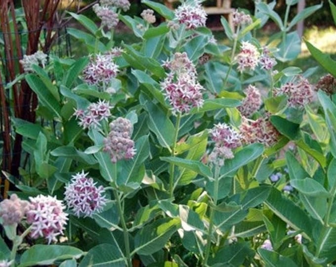 """32 Showy Milkweed plants. 2.5"""" container. Asclepias speciosa. (Pre-order for Spring shipment)"""