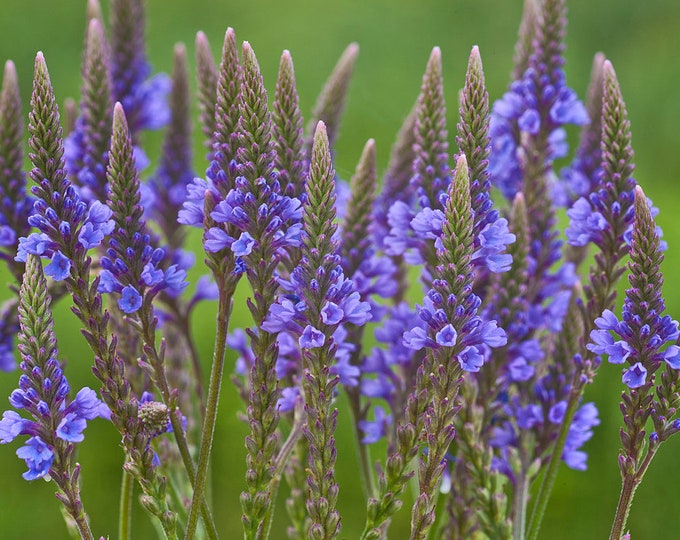 Blue Vervain Seeds. Verbena hastata. Chemical free.