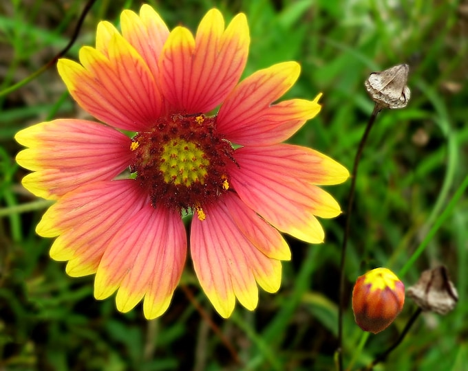 100 Indian Blanket seeds. Gaillardia pulchella. Chemical free