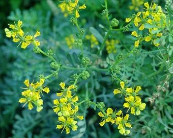Common Rue seeds (50 seeds) Ruta graveolens