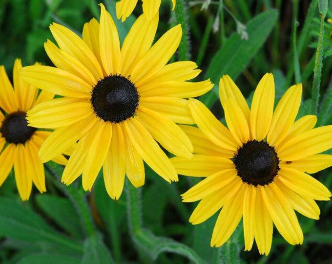 """Black-eyed Susan plant. Rudbeckia hirta. 2.5"""" Container. (Pre-Order. Ships in May.)"""