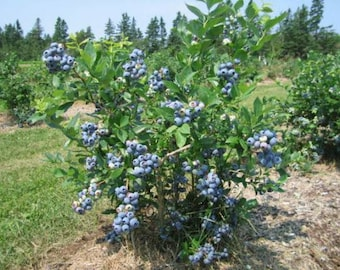 "5 Northland blueberry plants. 4-8"" plant. PRE-ORDER for June 2021"