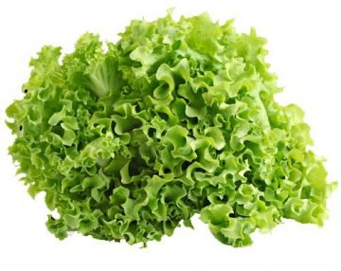 100 Green Ice Leaf Lettuce Seeds. Non-GMO.