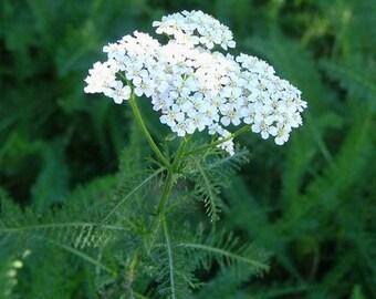 Common Yarrow seeds (500 seeds) Achillea millefolium **MEDICINAL**