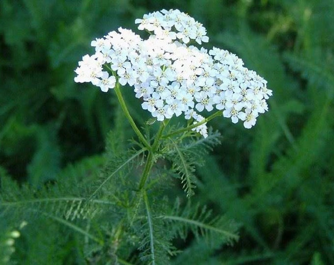 500 Common Yarrow seeds. Achillea millefolium.