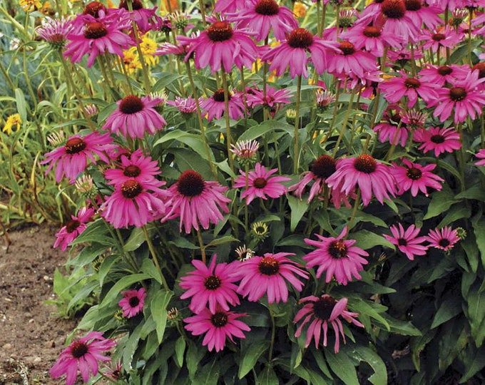 "10 Purple Coneflower Plants. 2.5"" container.  Ships in  August. FREE SHIPPING."