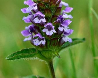 100 Common Self Heal Seeds / Prunella vulgaris *Medicinal*