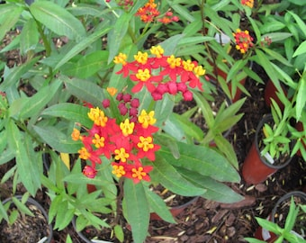 Tropical Milkweed Seeds. Asclepias curassavica. Chemical free.