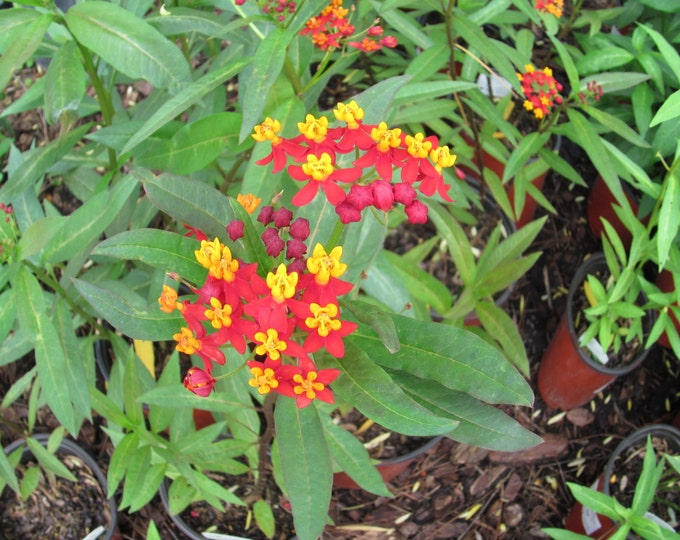 1 Oz.  Tropical Milkweed Seeds. Asclepias curassavica. 11,000 seeds