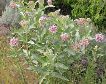 "10 Showy Milkweed plants. 2.5"" container. (Pre-order for May 2020)"