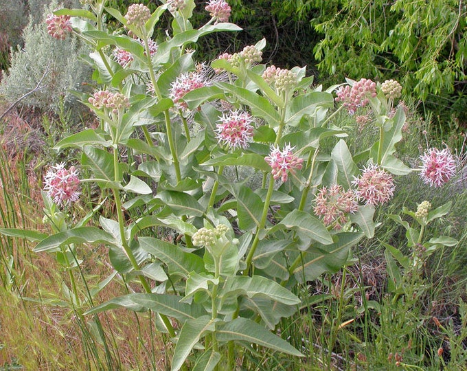 """10 Showy Milkweed plants. 2.5"""" container. (Pre-order for May 2020)"""