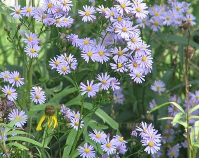 50 Sky Blue Aster Seeds. Symphyotrichum oolentangiense.