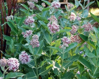 100 Showy Milkweed Seeds. Asclepias speciosa. Chemical free.