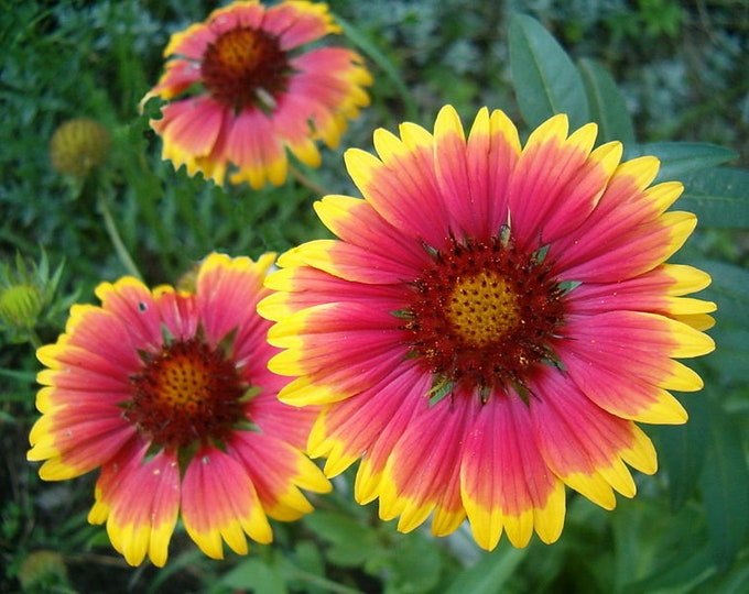 100 Blanket Flower Seeds. Gaillardia aristata.