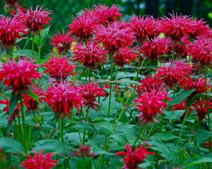50 Scarlet Bee Balm seeds. Monarda didyma. Chemical free.
