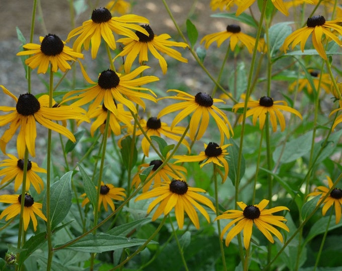 1 Oz. Black-eyed Susan Seeds. Rudbeckia hirta. Chemical free.
